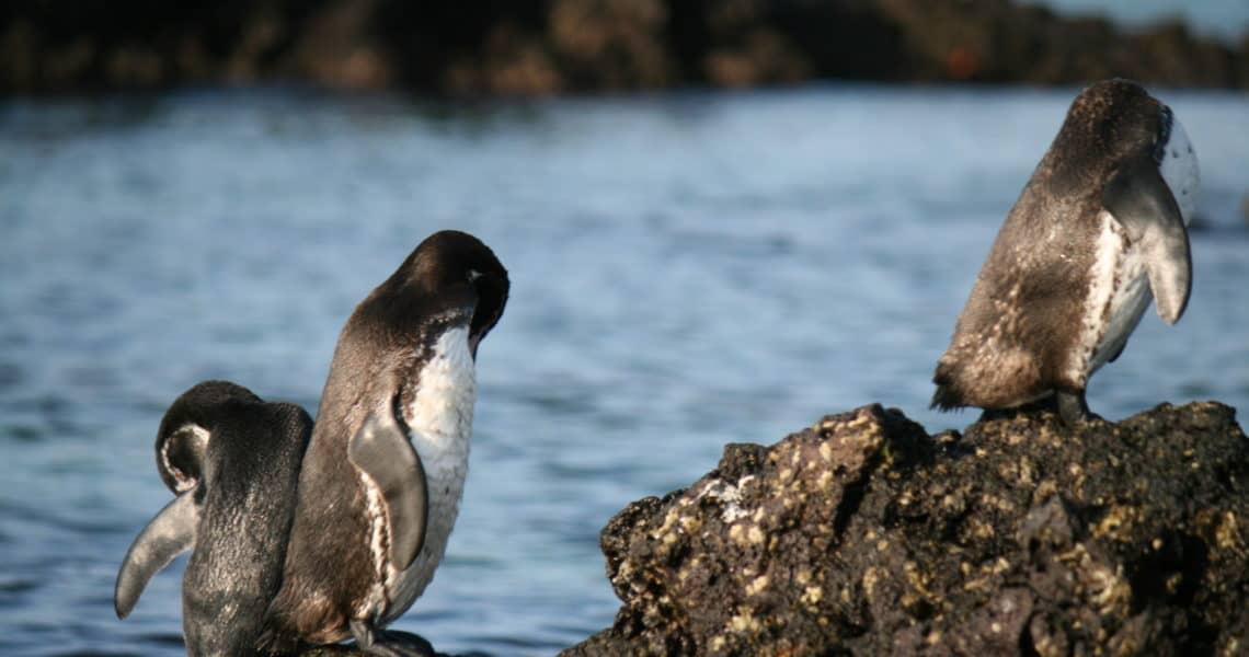 Galapagos-Pinguine vor Insel Bartolomé