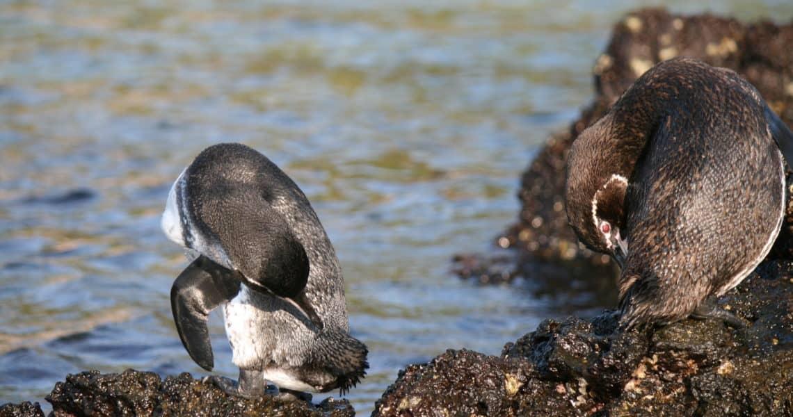 Pinguine putzen sich zwischen denGalapagos-Inseln Santiago und Bartolomé