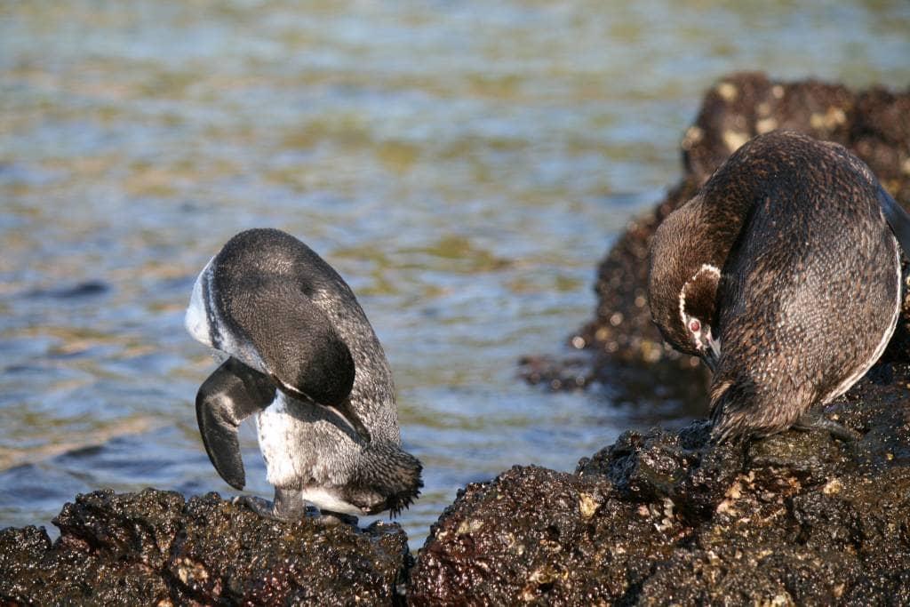 Reinliche Kerlchen - Pinguine vor der Galapagos-Insel Bartolomé