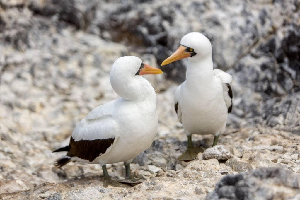 Galapagos- Inseln - Maskentölpelpärchen