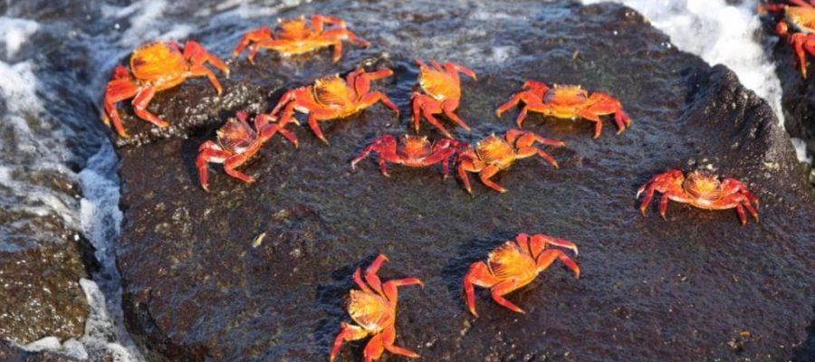 Die farbenprächtigen Klippenkrabben die auf vielen der Galapagos-Inseln vertreten sind