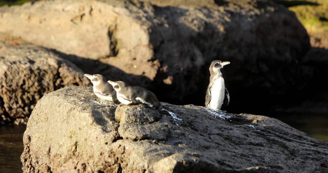 Galapagos-Pinguine auf Galapagos-Insel Bartolomé