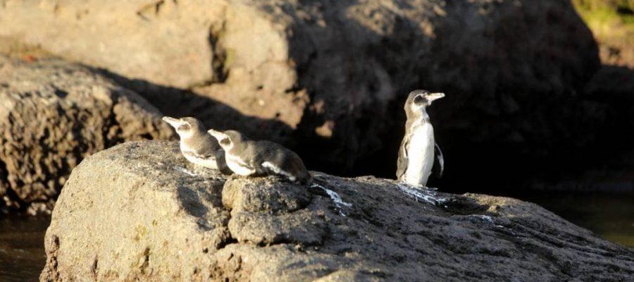 Gegenseitiges Beobachten - Pinguine auf der Galapagos-Insel Bartolomé