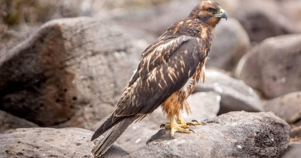 Dieser Adler ist auf mehreren Galapagos-Inseln zu beobachten