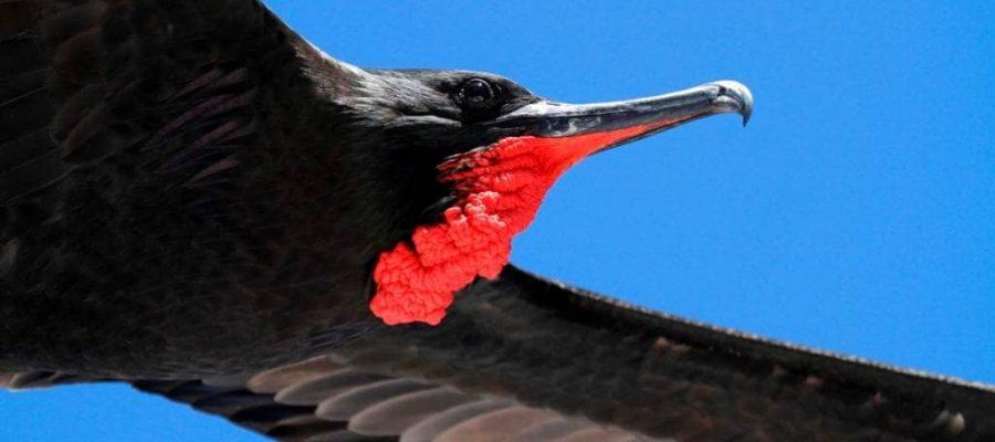 Auf der Galapagos-Insel Nord Seymour Fregattvögel im Flug beobachten