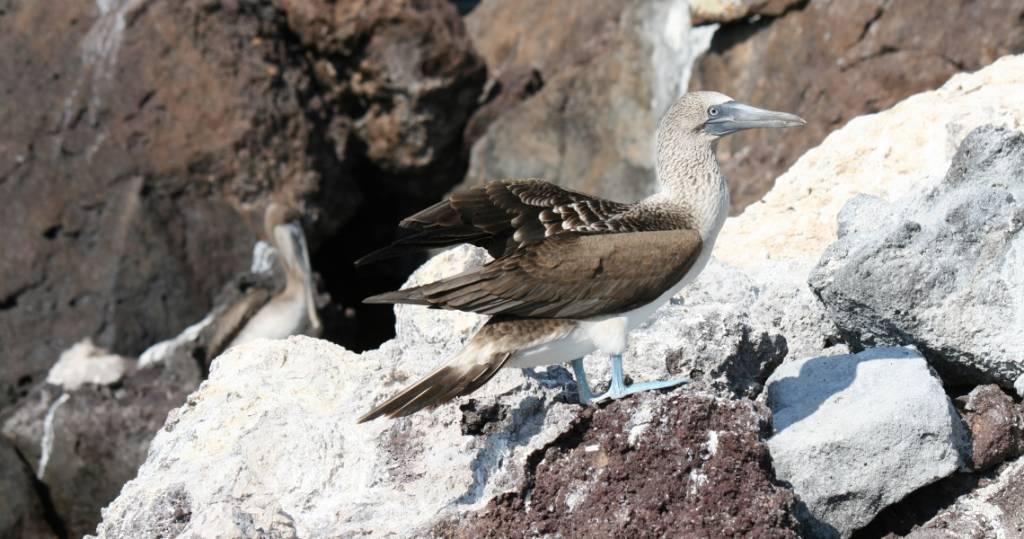 Blaufußtölpel auf der Galapagos-Insel La Rábida