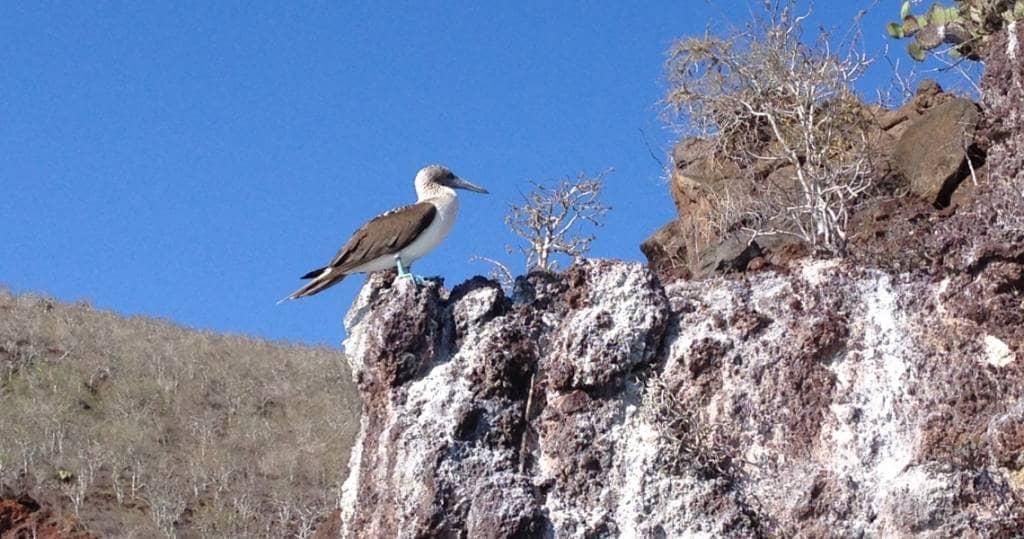 Galapagos PRO Blaufusstoelpel bei Ausflug vom Schiff aus