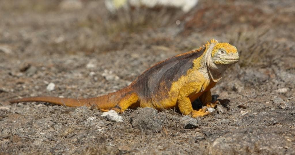 Entdecken Sie diverse Tierarten bei einem Tagesausflug zur Galapagos-Inselgruppe Plazas