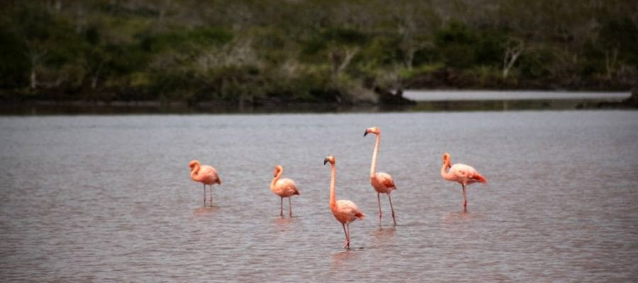 Auf der Galapagos-Insel Floreana finden Sie auch Salzwasserlagunen mit Flamingoschwärmen