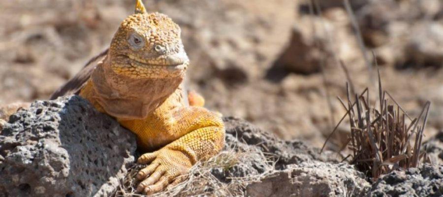 Entdecken Sie gelbe Landleguane auf der Galapagos-Insel Seymour Norte