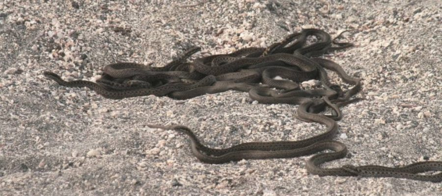 Vereinzelt findet man auch Schlangen auf der Galapagos-Insel Fernandina