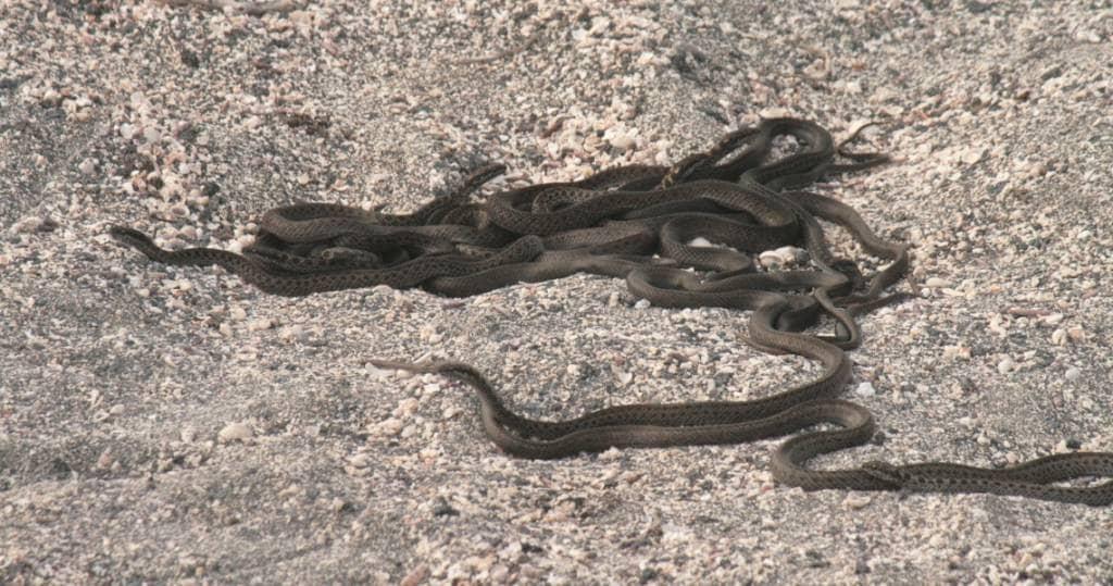 Galapagos PRO Galapagos-Schlange auf Galapagos-Insel Fernandina per Kreuzfahrt