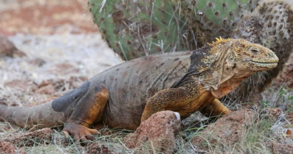 Gelber Landleguan auf der Galapagos-Insel Santa Fé