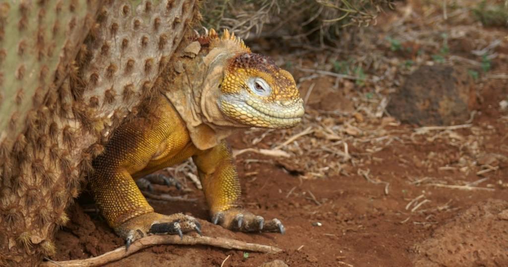 Die imposanten Krallen des gelben Landleguans auf der Galapagos-Insel Santa Fé