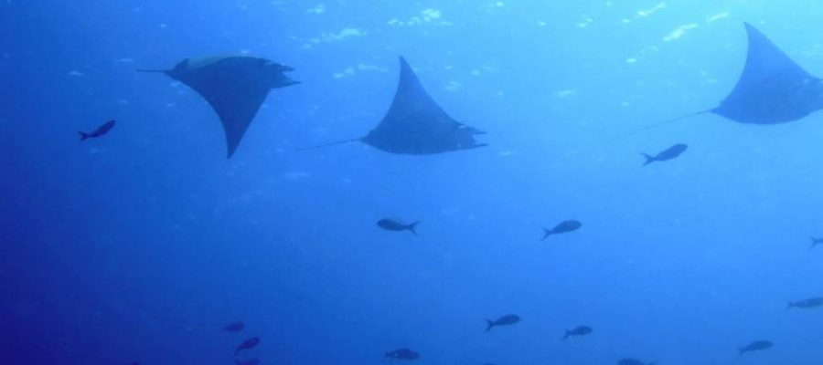 The dive sites of the Galapagos Islands are home to manta rays among the many tropical fish schools