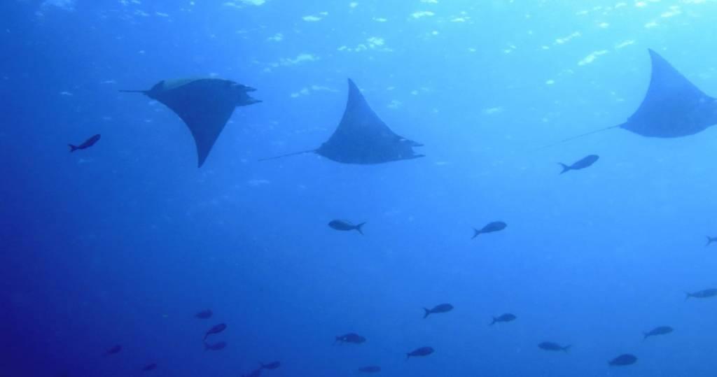 Galapagos PRO Mantarochen und Fischschwärme beim Tauchen und Schnorcheln