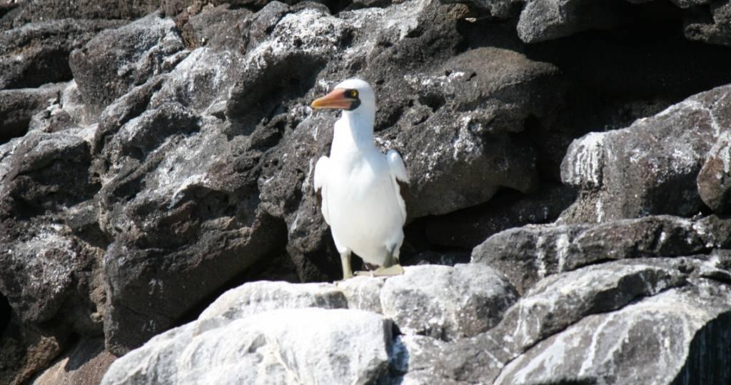 Galapagos PRO Maskentoelpel beim Ausflug entlang Galapagos-Insel Rábida