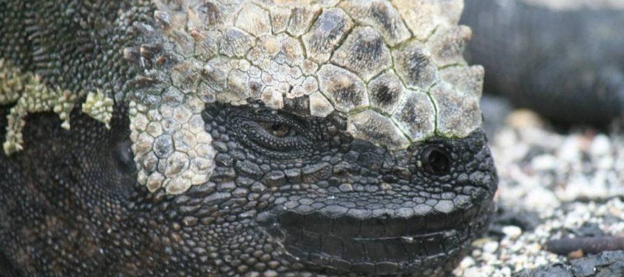 Die kleinen Drachen von Galapagos - Meerechse auf der Insel Fernandina