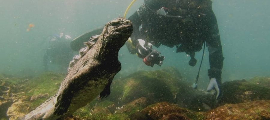 Wolf and Darwin Island in the Galapagos Islands offer the chance to dive with marine iguanas