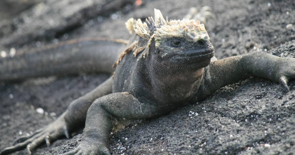 Meerechsen leben hier in Kolonien auf der Galapagos-Insel Fernandina