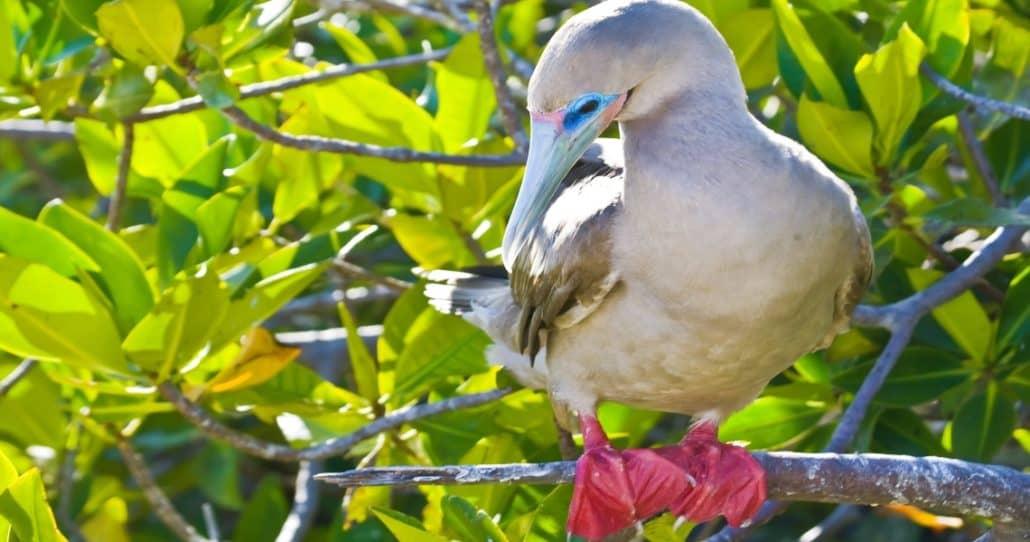 DGalapagos PRO - der farbenprächtige Rotfußtölpel ist auf der Galapagos-Insel Genovesa zu finden