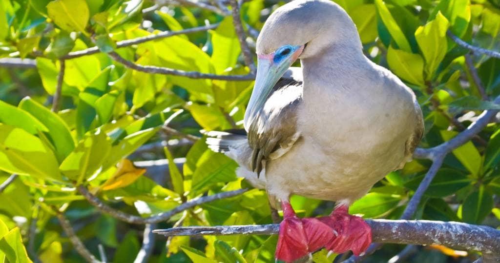Galapagos PRO Rotfusstoelpel auf Vogelinsel Genovesa auf der Nordroute mit dem Kreuzfahrtschiff