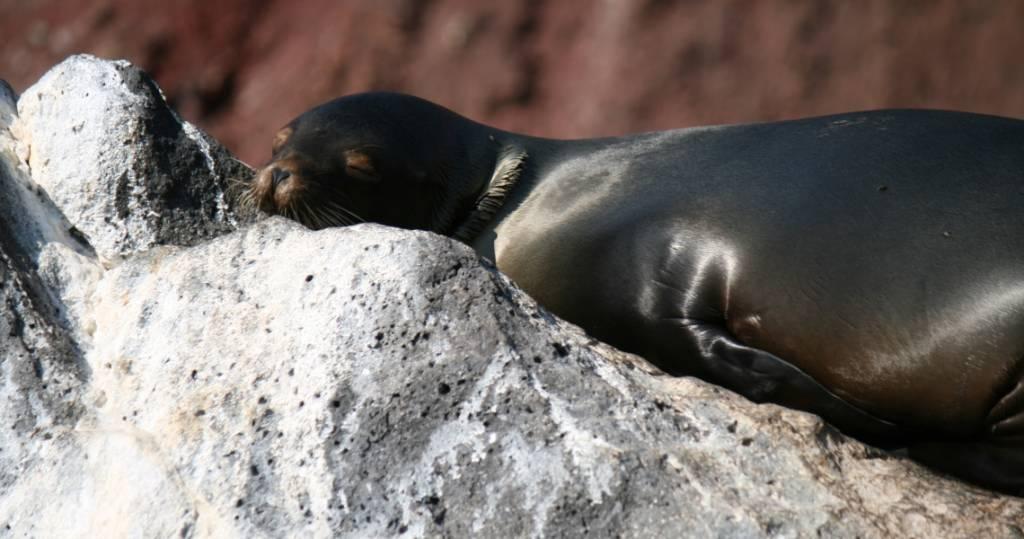 Ein sehr entspannter Seelöwe auf der Galapagos-Insel Rábida