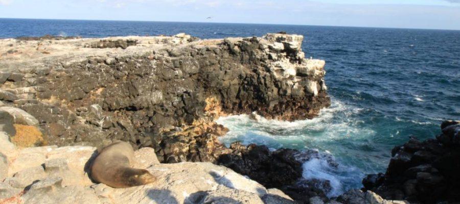 Seelöwen auf den Lavafelsen der Galapagos-Insel Plaza Sur