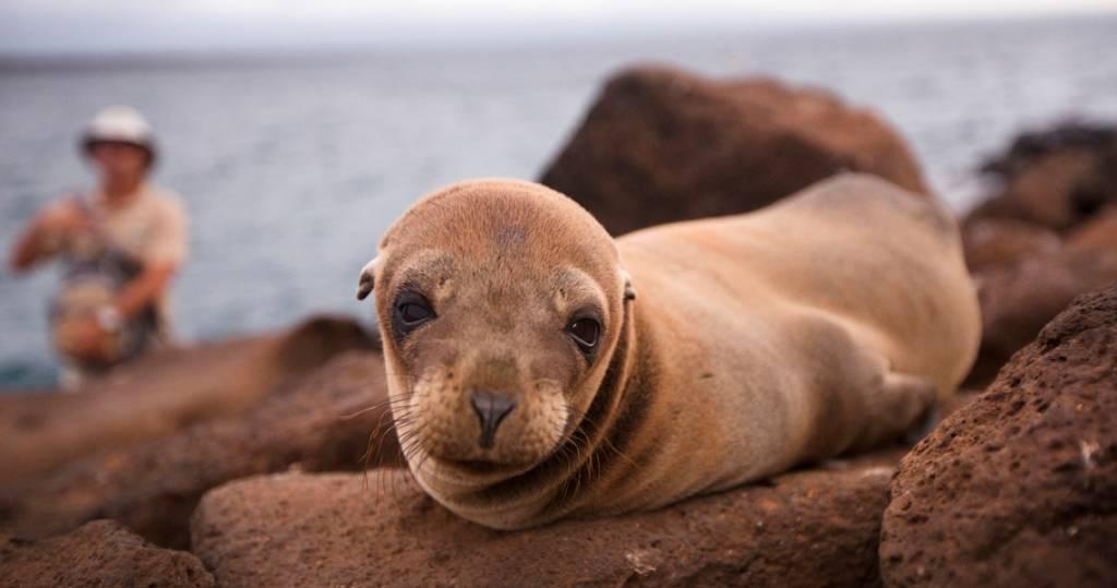 Seelöwenjunges beim Tagesausflug auf die Galapagos-Insel Nord Seymour