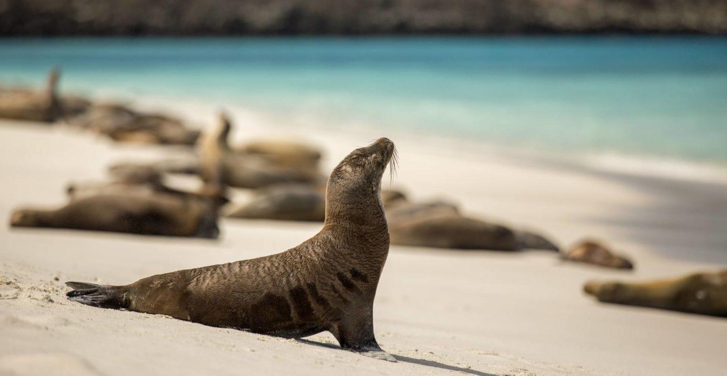 Seelöwenkolonien am Strand der Galapagos-Inseln San Cristóbal