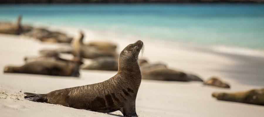 Seelöwenkolonien am Strand der Galapagos-Insel San Cristóbal