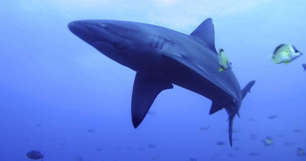 Galapagos PRO Tauchen mit Haien auf Tauchsafari in galapagos mit Schiffen Nortada oder Astrea
