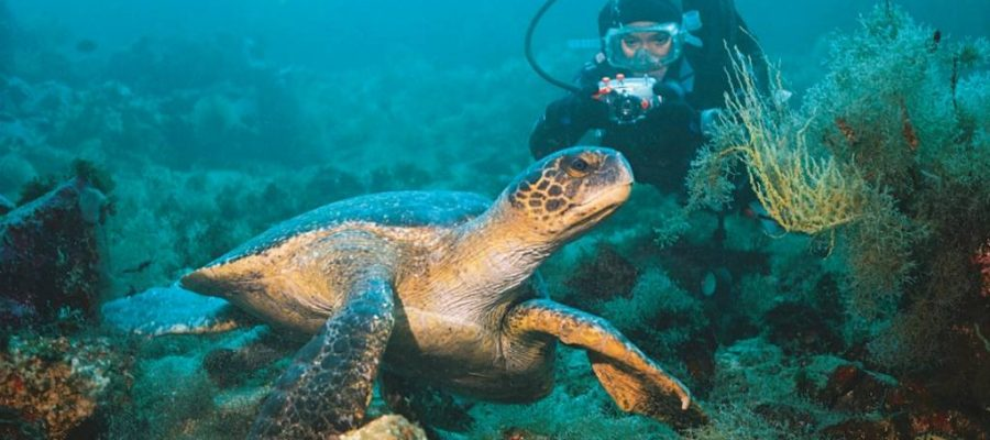 Diving in the Galapagos Islands offers incredible opportunities to see sea turtles