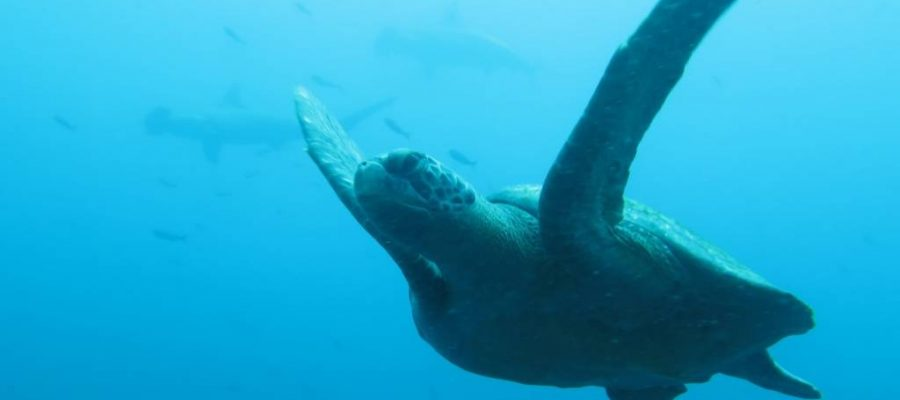 Dive Galapagos with sea turtles and hammerhead sharks