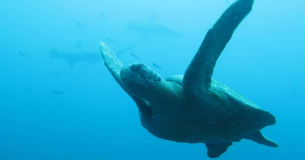 Galapagos PRO Tauchsafari Galapagos mit Wasserschildkröten und Haien