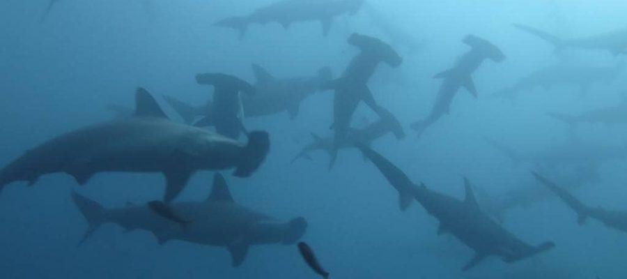 Galapagos PRO Tauchsafari oder Tagesausflüge in Galapagos mit Hammerhai-Sichtungen
