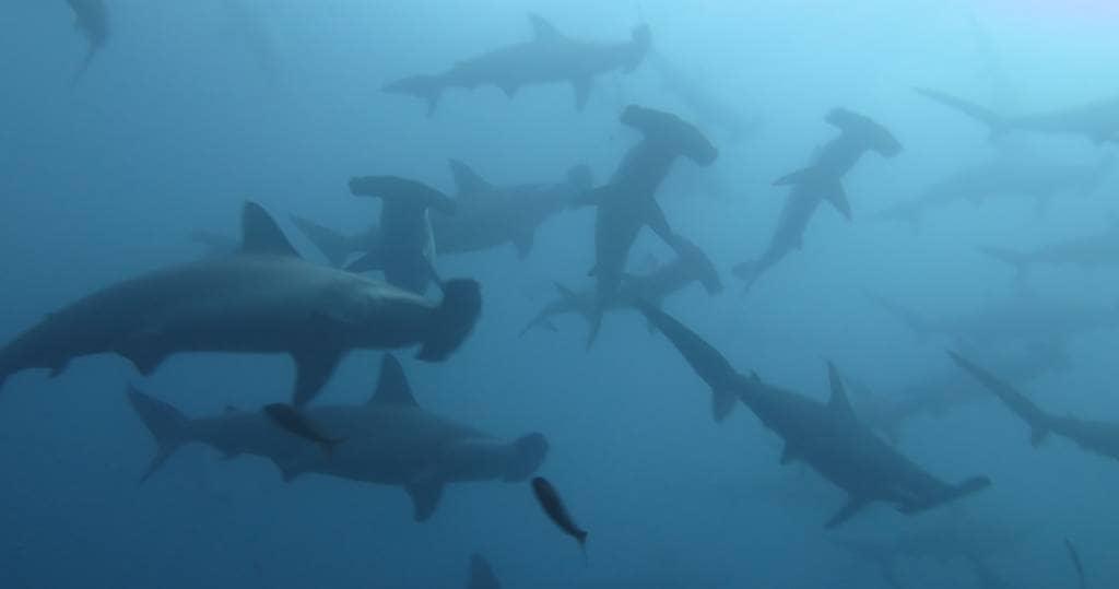 Galapagos PRO Tauchsafari oder Tagesausfluege in Galapagos mit Hammerhaien