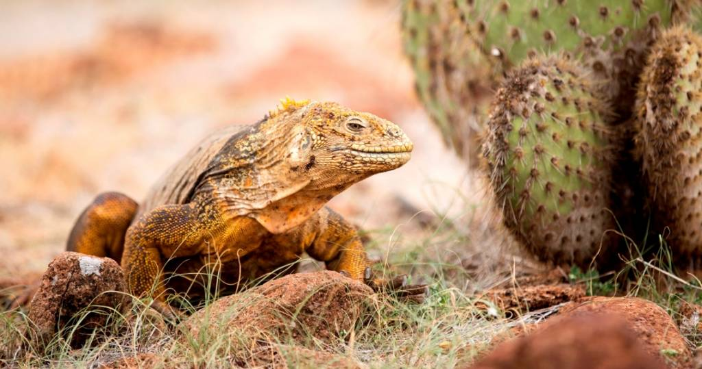 Ein charakteristischer gelber Landleguan auf der Galapagos-Insel Santa Fé