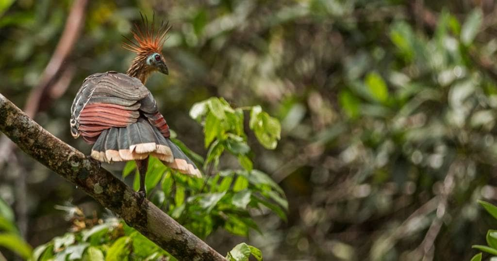 Galapagos PRO Unglaubliche Vogelvielfalt beim Reisen durch den Amazonas von Ecuador