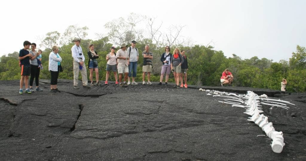 Walknochen auf der Galapagos-Insel Fernandina