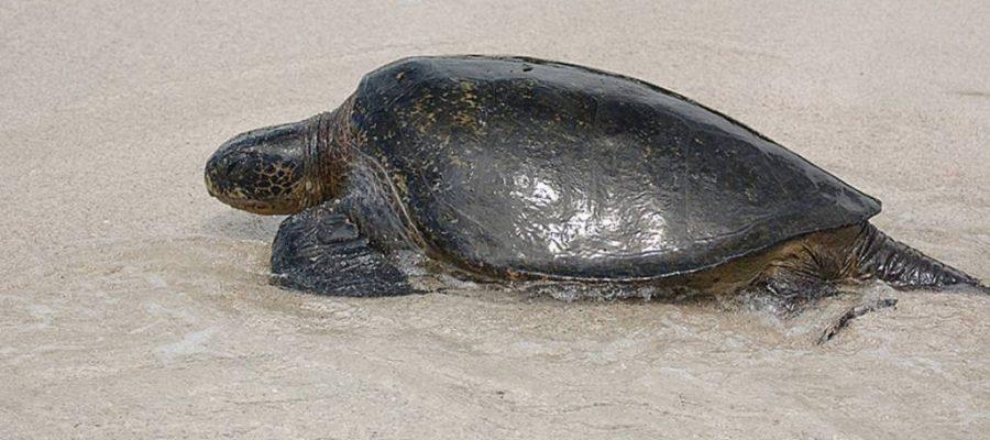 Wasserschildkröte auf dem Weg zum Eierlegen auf der Galapagos-Insel Floreana