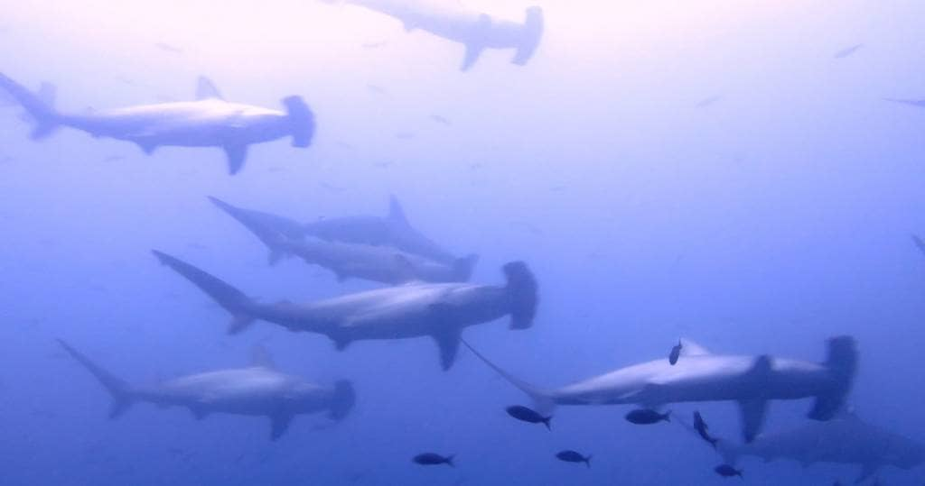 Galapagos PRO - Imposante Hammerhaischulen um die Galapagos-Inseln Darwin und Wolf
