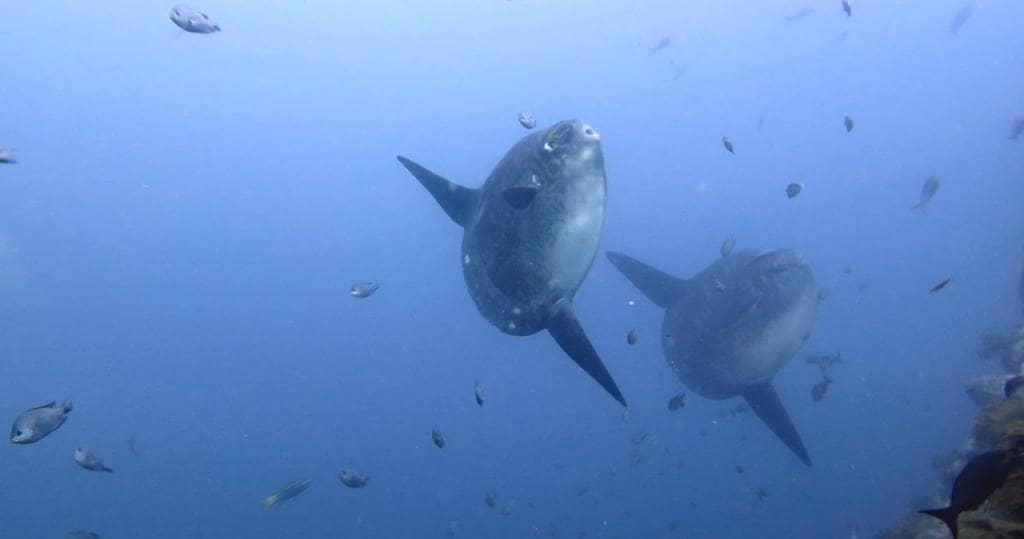 Galapagos PRO seltene Mondfische beim Tauchen und Schnorcheln um Galapagos erleben