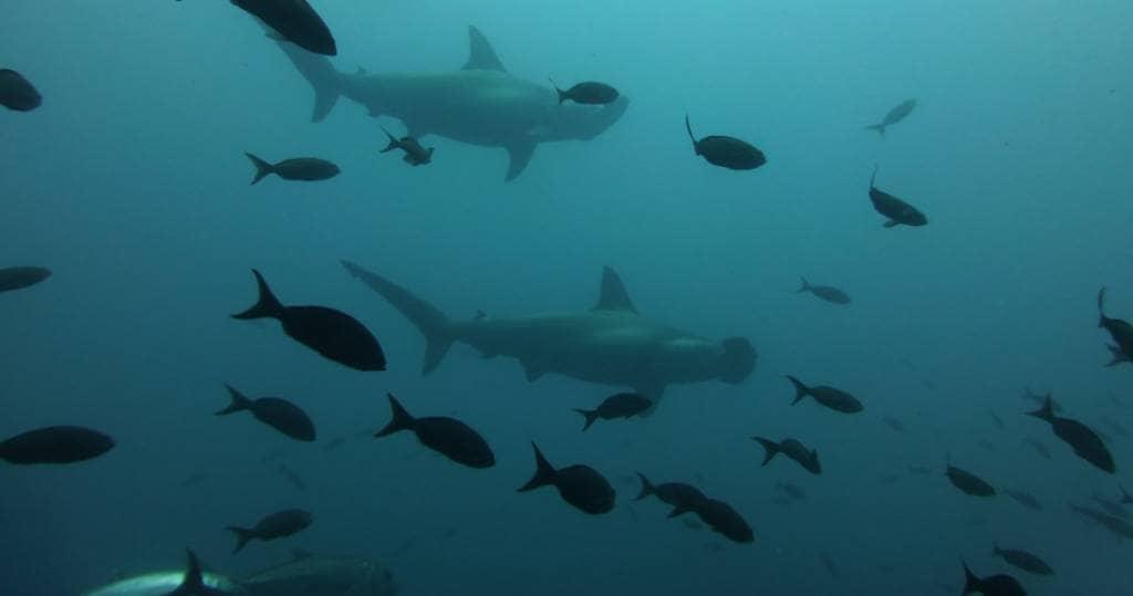 Eine vielfältige Unterwasserwelt im Norden des Galapagos Archipels