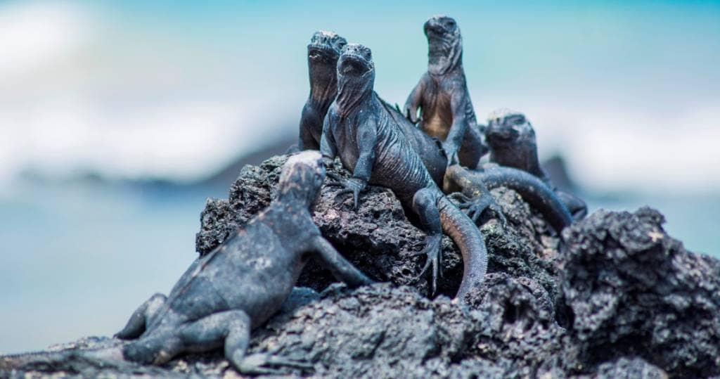 Galapagos - Gruppentreffen der Meerechsen