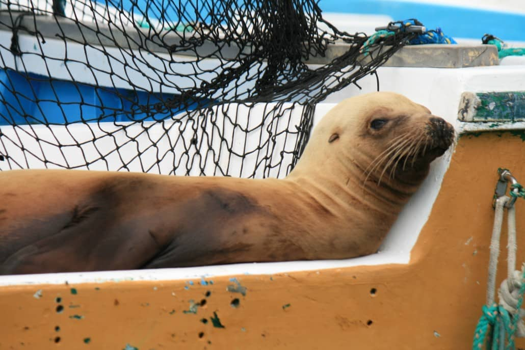 A sea lion sleeps on a boat in the Galapagos Islands