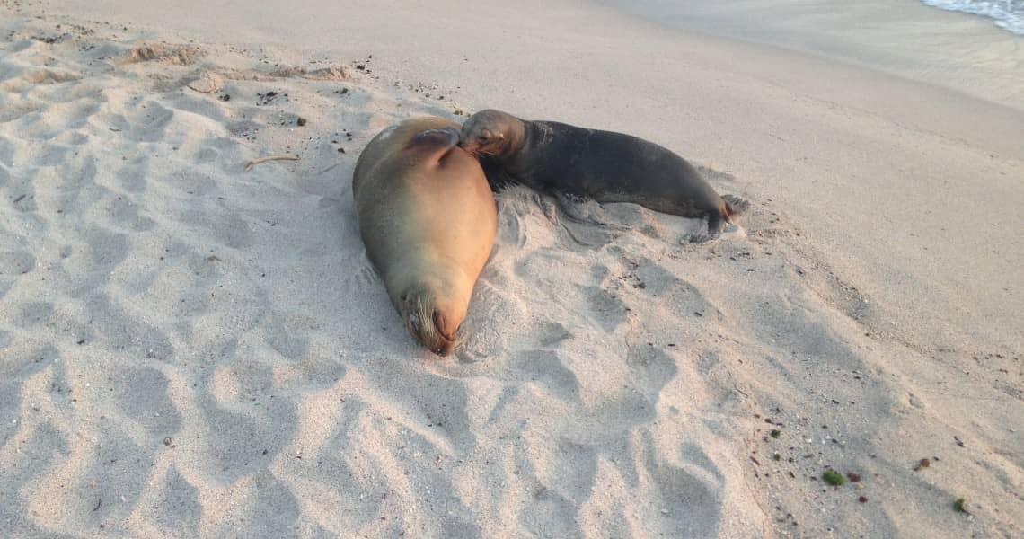 Seelöwin mit Nachwuchs am Strand.