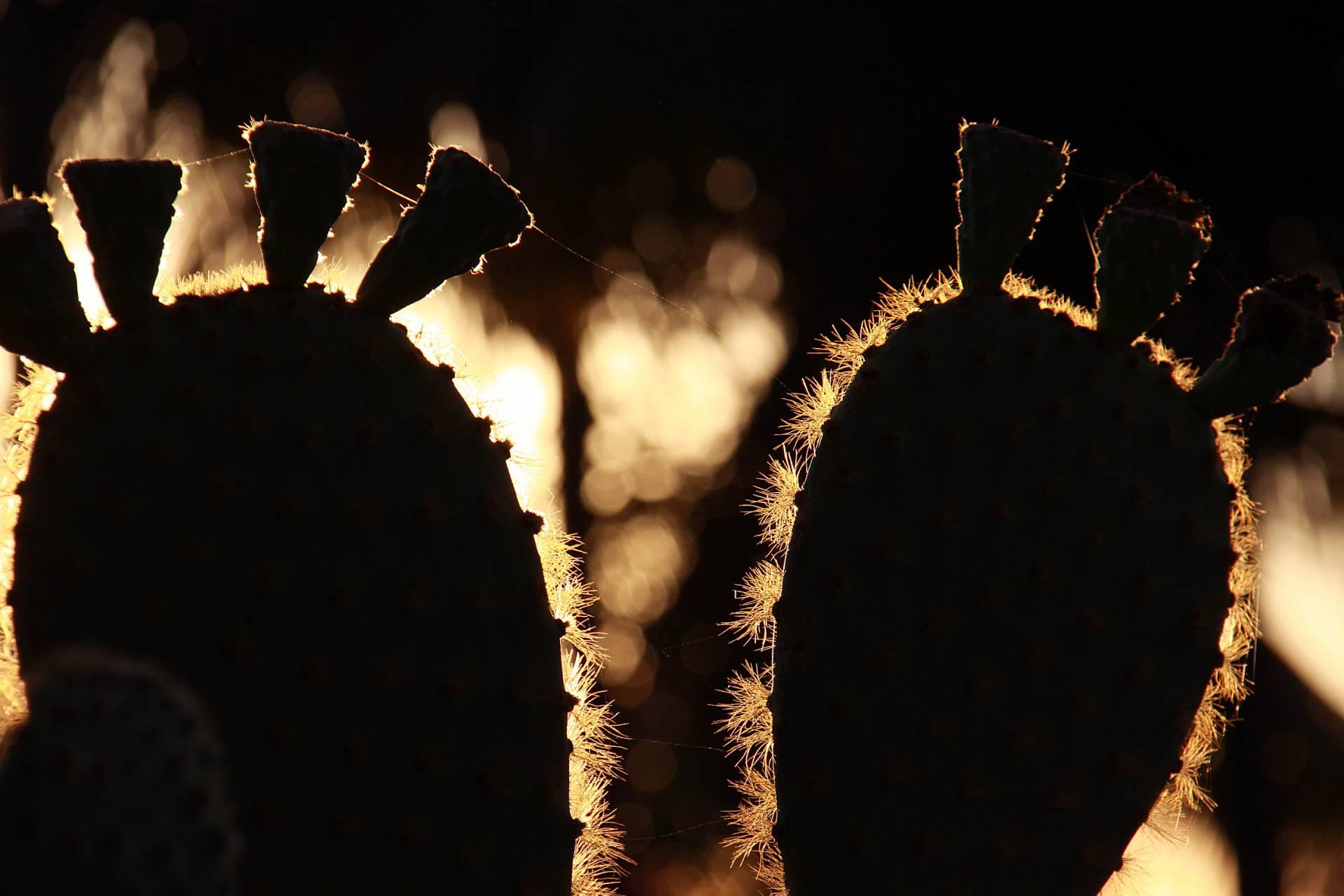 Die Opuntien-Pflanze - Die Früchte dieser Pflanze sind die Leibspeise der Landleguane auf der Galapagos-Insel Santa Fé