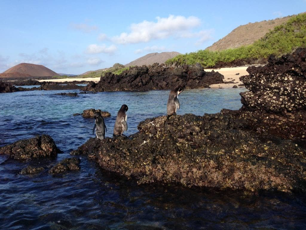 Sie werden von Galapagos-Pinguinen begrüßt