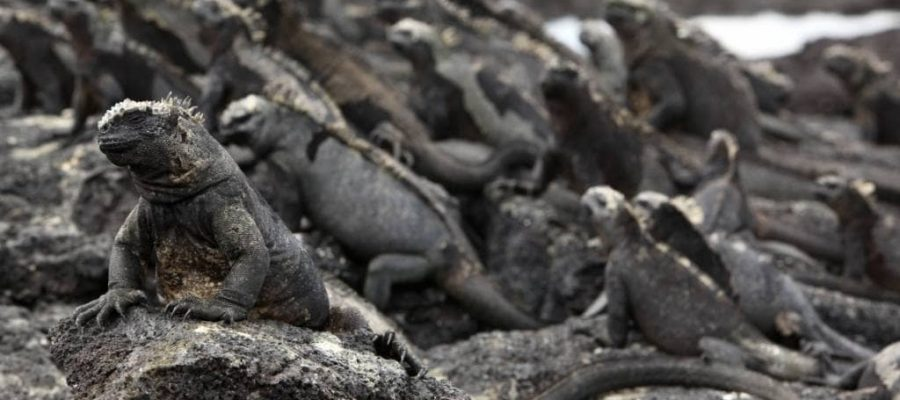 A colony of iguanas - a typical sight on Fernandina Island